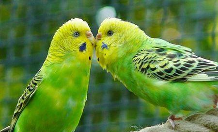 セキセイインコの性別の見分け方(成鳥&ヒナ)は鼻がポイント!