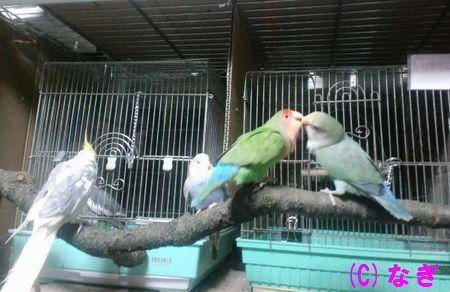 インコに放鳥は必要!放鳥のポイントと注意点まとめ