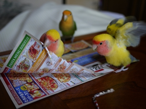 コザクラインコの飼育の注意点(鳴き声、噛み癖、放鳥、事故など)
