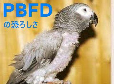インコの大敵!PBFDの症状と治療、予防策についてまとめ。