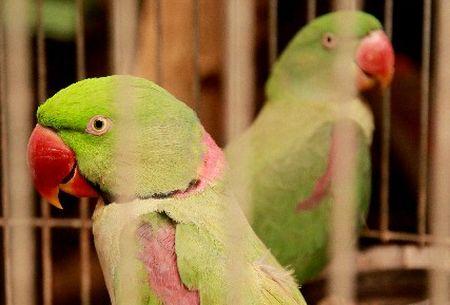 インコで、2羽目を迎える際の注意と多頭飼い、同居方法まとめ。