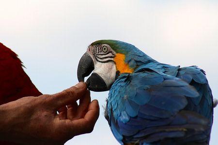 インコの発情の原因と抑制する方法&対策。雄の発情過多は病気の元!