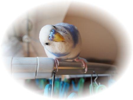インコを看取る意味。愛鳥を感謝で見送る事の大切さを知ってほしい。