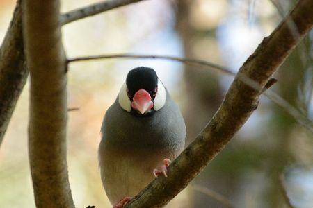 文鳥(ブンチョウ)の元気がない/具合が悪いときの対処法。