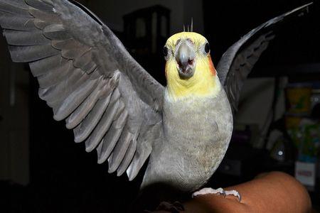 インコ/小鳥の突然死の死因・原因と病気。雛は特に注意を。