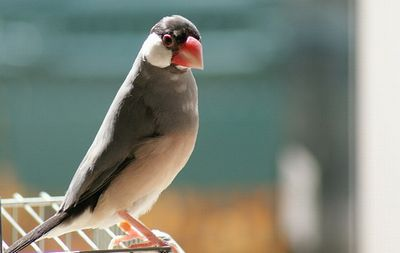 文鳥の性格が悪い・攻撃的・噛む原因と対処法。必ず直ります!