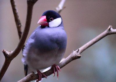 桜文鳥の性格/飼い方/寿命/価格/白文鳥との違いについて