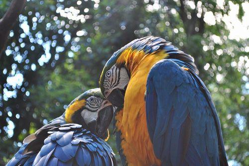 ルリコンゴウインコの飼育/飼い方、しつけ、食性について