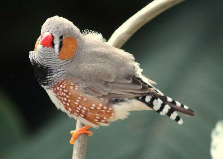 キンカチョウの飼い方/鳴き声・種類・寿命・値段/価格総まとめ