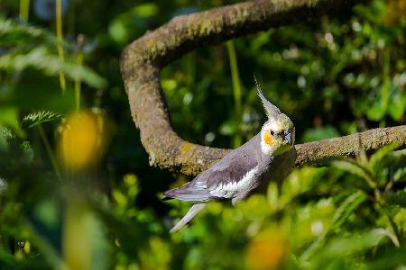 インコの羽根が抜ける原因と対処法、病気と換羽の違い。