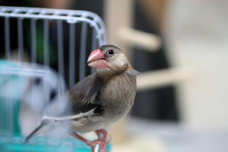 文鳥の卵詰まりの症状と応急処置、プロが実践する3つの予防法!