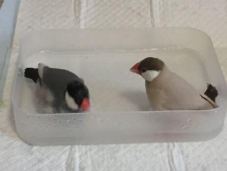 文鳥が鳴きやまない、鳴き続ける理由と対処法。これで解決!
