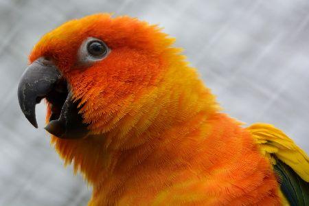インコのあくび連発、何回もあくびが止まらないのは実は危険!