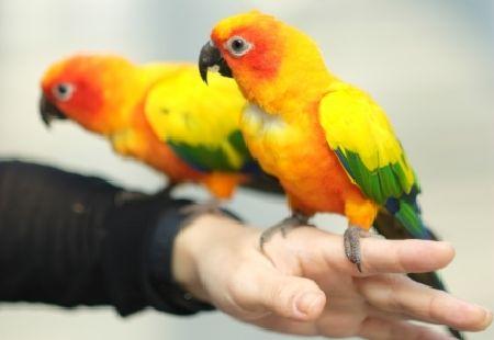 インコと生活すると起こる良いこと、嬉しいこと。愛鳥がくれる幸せ。