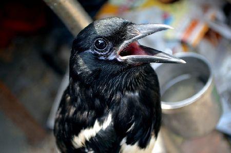 九官鳥/キュウカンチョウの飼い方、値段、寿命、しゃべる理由。