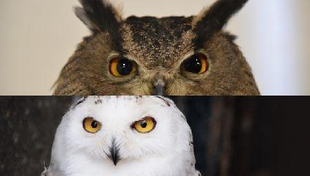 フクロウとミミズクの違い。ここをみればひと目で分かります!