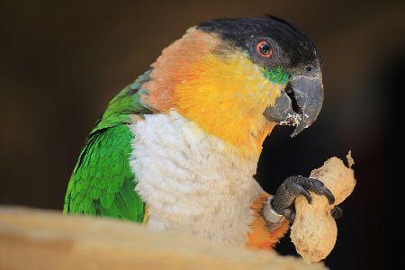 愛鳥家があこがれる!頭が良いインコの種類と値段5選!