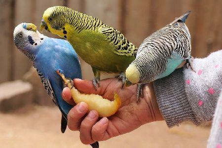 太りすぎたインコに共通する生活習慣。あなたの愛鳥もチェック!