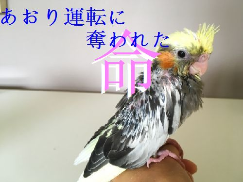 煽り運転に愛鳥の命が奪われた・・飼い主の苦悩